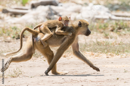 obraz dibond Baby Yellow baboon (Papio cynocephalus) riding on its mothers ba