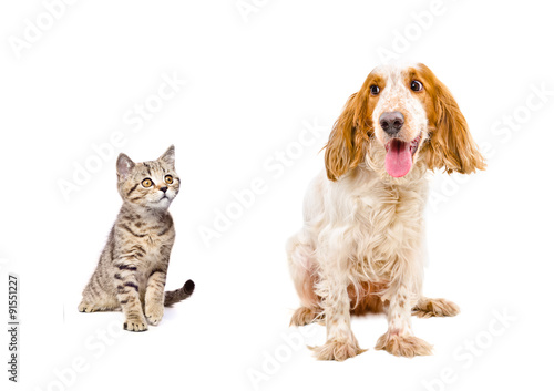 Poster Chien Dog Russian Spaniel and a kitten Scottish Straight