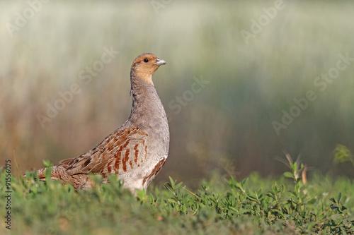 Partridge in interior/Grey partridge - Buy this stock photo