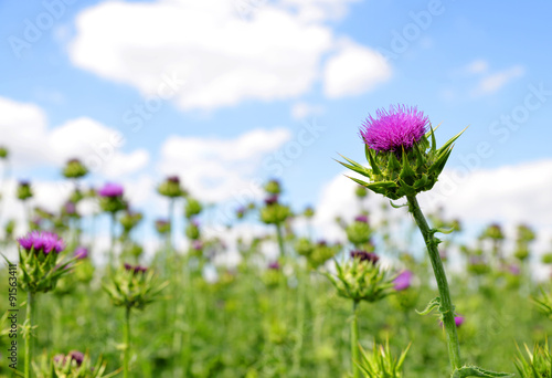 Photo Field with Silybum marianum (Milk Thistle) , Medical plants.