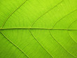 pattern of green teak leaf background