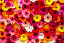 Background Of Colorful Gerbera Flowers