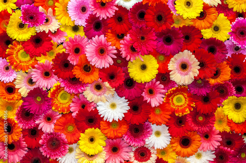 Photographie Background of colorful gerbera flowers