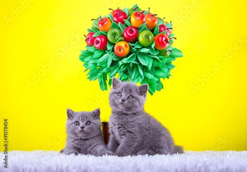 Poster Jaune Beautiful stylish purebred british cat. Animal portrait. Purebred cat is lying. Yellow background. Colorful decorations