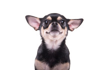 Beautiful Chihuahua Dog. Animal Portrait. Stylish Photo. White Background. Isolated