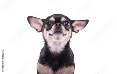 Photo Beautiful chihuahua dog