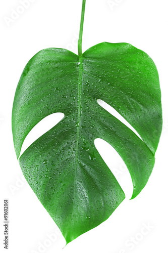 Photo Stands Candy pink Monstera leaf isolated on white