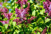 Common Lilac (syringa Vulgaris). Start Of Blossoming.