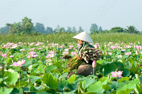 Fotografie, Obraz  Farmers are harvesting the lotus in the field preparation for distribution, Mekong Delta, An Giang, VIetnam