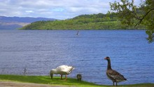 Ducks Wander On The Shore Of Loch Lomand, Scotland.