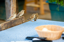 Sparrows On The Table In Outdoor Restaurant
