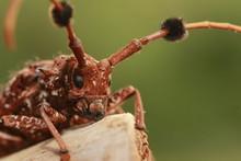 Brown Beetle The Bug