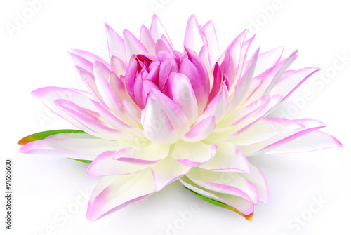 Garden Poster Lotus flower Lily pink isolated on white