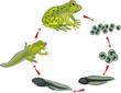Life cycle of frog