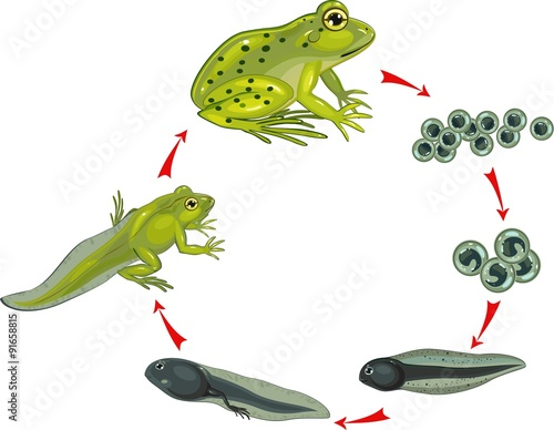 Life cycle of frog Slika na platnu