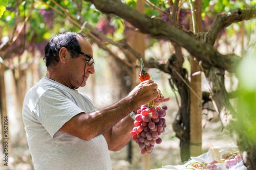 Fotografía  Time to harvest in Sicily