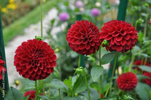 Poster de jardin Dahlia Red dahlia flower
