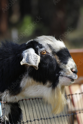 Photo  Animals: billy goat, black and white