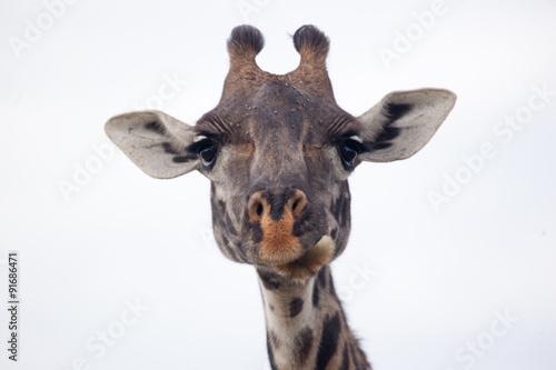 Fototapety, obrazy: Masai giraffe head, Serengeti National Park, Tanzania, Africa