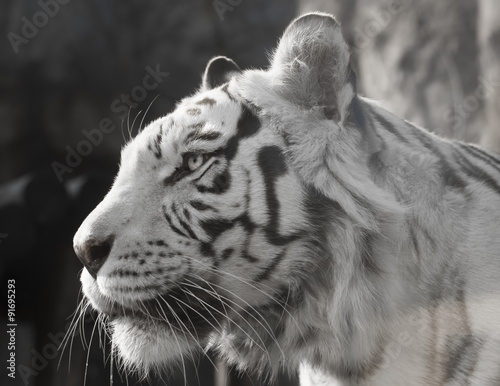 Portrait of an Amazing White tiger