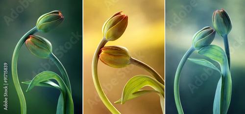 Fototapety, obrazy: Tulipany kolor mix