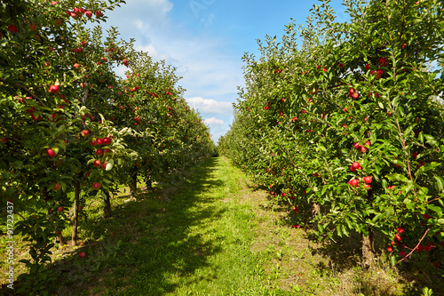 red apples on the trees in the orchard Fototapeta