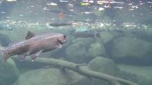 Rainbow Trout Swimming Underwa...