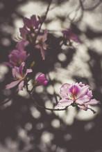 Phanera Variegata Flowers Of S...