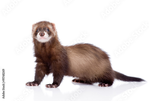 Obraz na plátne ferret looking at camera. isolated on white background