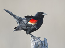 Red-winged Blackbird Standing ...