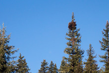 Pine Tree With A Cluster Of Mistletoe On Top