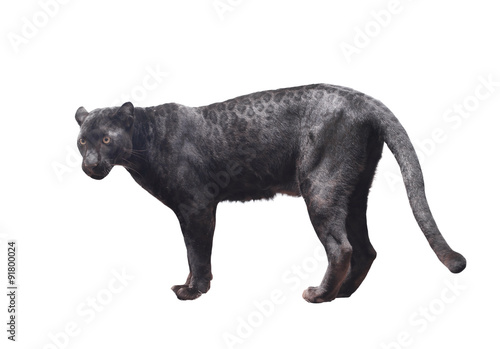 Tuinposter Panter black panther isolated