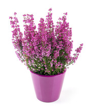 Pink Heather Planted In Pot Isolated On White
