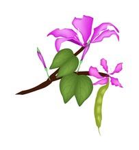 Bauhinia Purpurea Or Orchid Tree On White Background