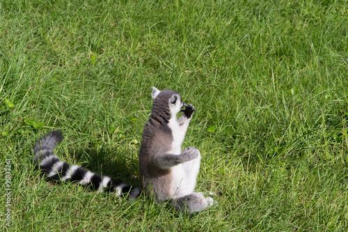 Vászonkép  967 - lemur