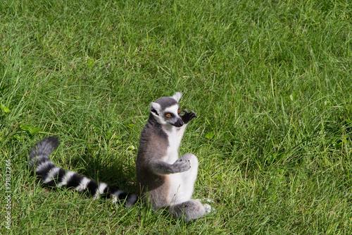 Vászonkép  972 - lemur