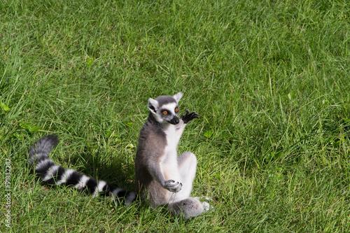 Fényképezés  974 - lemur