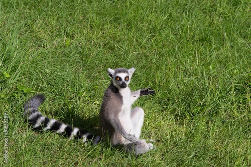 Vászonkép  980 - lemur
