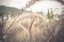 Soft Focus Pennisetum: Ornamental Grass Plumes / Flowers Background