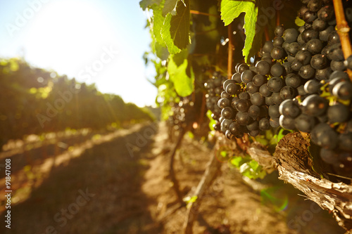 Tuinposter Wijngaard Black grapes in a vineyard