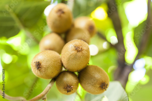 Photo Kiwi fruit on a branch