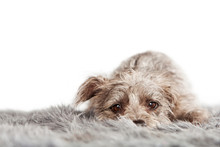 Tired Small Terrier Dog On Fur Blanket