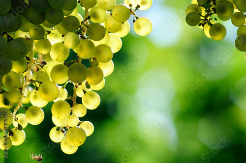 Fotografia, Obraz  Close-up of white grapes