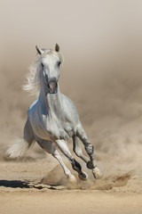 Grey arabian horse run in dust