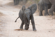 Young Elephant Play On A Road And Family Feed Nearby