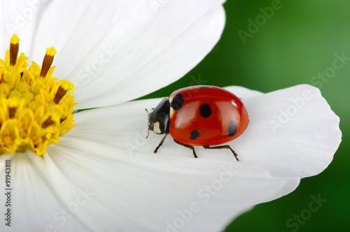 fototapeta na drzwi i meble Ladybug