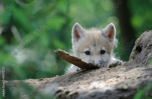 Fotografie, Obraz  wolf cub