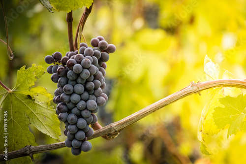 Fotografie, Obraz  Bunch of Nebbiolo grapes in the vineyard