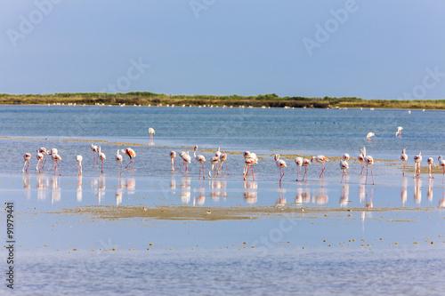 Garden Poster Flamingo flamingos in Camargue, Provence, France