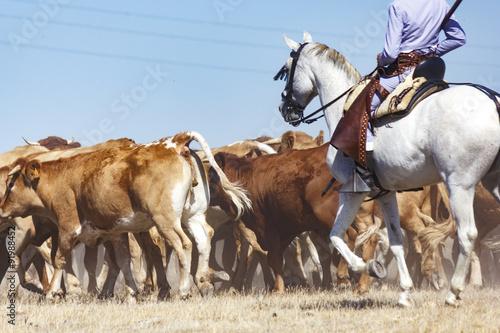 La pose en embrasure Vache Vaqueros a caballo dirigiendo a las vacas. Rebaño de vacas mansas. Traslado de vacas. Vacas en el campo.
